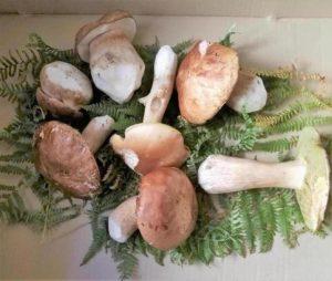 Rinnovo Permesso Funghi Toscana