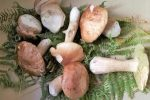 Funghi; rinnovo; permesso; firenze;